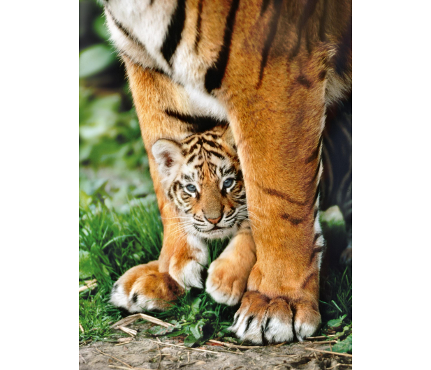 Clementoni Puzzle HQ Bengal Tiger Cub Between Its Mother'S Legs - 417078 - zdjęcie 2