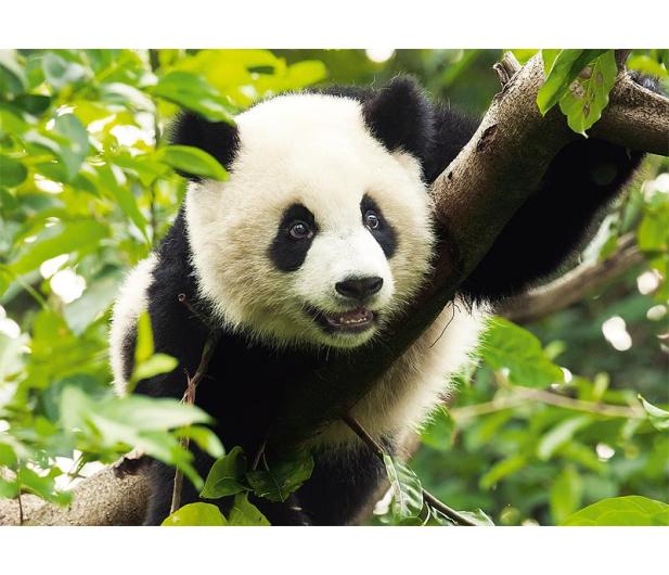 Trefl 500 el Panda  - 479539 - zdjęcie 2