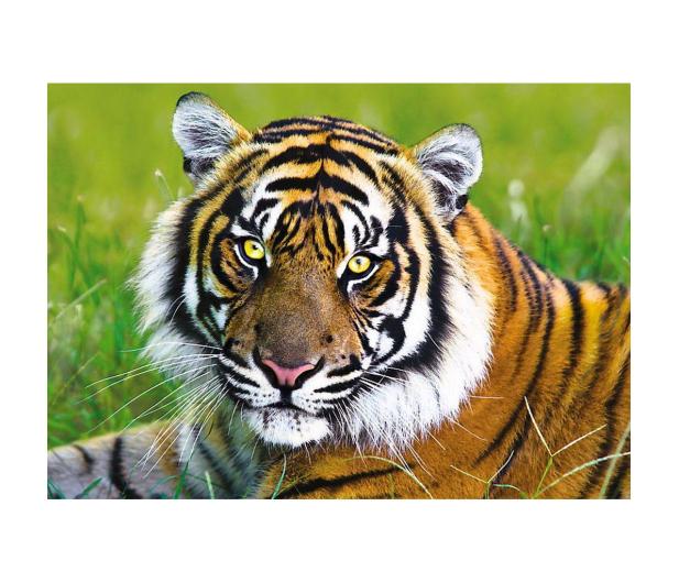 Trefl 500 el Tygrys - 479560 - zdjęcie 2