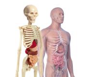 Clementoni Ciało ludzkie mini - 415243 - zdjęcie 2